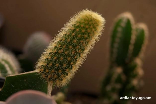 Kaktus penyet...